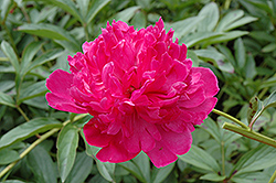 Felix Crousse Peony (Paeonia 'Felix Crousse') at Town And Country Gardens