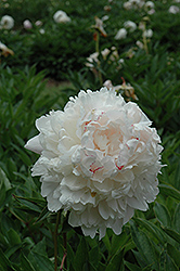 Chestine Gowdy Peony (Paeonia 'Chestine Gowdy') at Town And Country Gardens