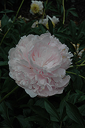 Albert Crousse Peony (Paeonia 'Albert Crousse') at Town And Country Gardens