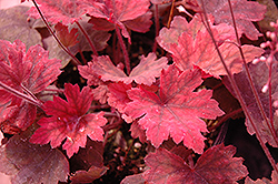 Sweet Tea Foamy Bells (Heucherella 'Sweet Tea') at Town And Country Gardens