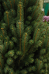Blue Totem Spruce (Picea pungens 'Blue Totem') at Town And Country Gardens