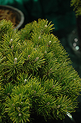 Mitsch Mini Mugo Pine (Pinus mugo 'Mitsch Mini') at Town And Country Gardens