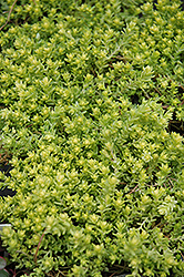 Golden Moss Stonecrop (Sedum acre 'Aureum') at Town And Country Gardens
