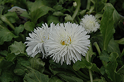 Enorma White English Daisy (Bellis perennis 'Enorma White') at Town And Country Gardens