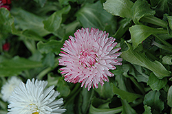 Enorma Pink English Daisy (Bellis perennis 'Enorma Pink') at Town And Country Gardens
