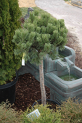 Dwarf Mugo Pine (Pinus mugo 'var. pumilio (tree form)') at Town And Country Gardens