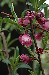 Frost Peach (Prunus persica 'Frost') at Town And Country Gardens