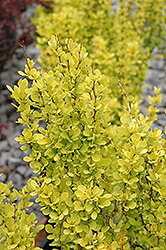Sunjoy Gold Pillar® Japanese Barberry (Berberis thunbergii 'Maria') at Town And Country Gardens