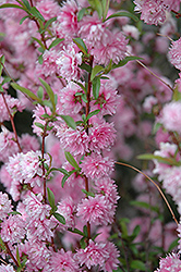 Double Pink Flowering Almond (Prunus glandulosa 'Rosea Plena') at Town And Country Gardens