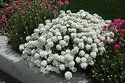 Tahoe Candytuft (Iberis sempervirens 'Tahoe') at Town And Country Gardens