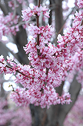 Eastern Redbud (Cercis canadensis) at Town And Country Gardens