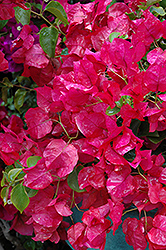 Oo-La-La® Bougainvillea (Bougainvillea 'Monka') at Town And Country Gardens
