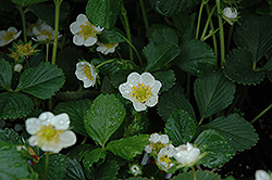 Seascape Strawberry (Fragaria 'Seascape') at Town And Country Gardens