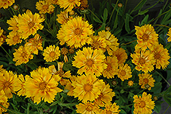 Jethro Tull Tickseed (Coreopsis 'Jethro Tull') at Town And Country Gardens