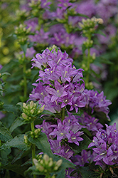 Freya Clustered Bellflower (Campanula glomerata 'Freya') at Town And Country Gardens