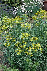 Common Rue (Ruta graveolens) at Town And Country Gardens