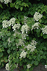Climbing Hydrangea (Hydrangea anomala 'var. petiolaris') at Town And Country Gardens