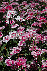 Elation Pink Pinks (Dianthus 'Elation Pink') at Town And Country Gardens