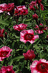 Raspberry Parfait Pinks (Dianthus 'Raspberry Parfait') at Town And Country Gardens