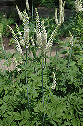 American Bugbane (Cimicifuga racemosa) at Town And Country Gardens