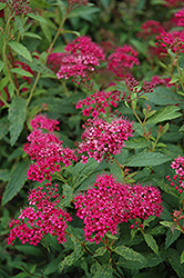 Neon Flash Spirea (Spiraea japonica 'Neon Flash') at Town And Country Gardens