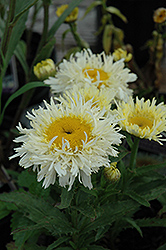 Gold Rush Shasta Daisy (Leucanthemum x superbum 'Gold Rush') at Town And Country Gardens