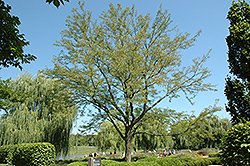 Skyline Honeylocust (Gleditsia triacanthos 'Skycole') at Town And Country Gardens