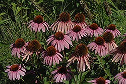 Purple Coneflower (Echinacea purpurea) at Town And Country Gardens