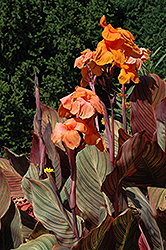 Tropicanna Canna (Canna 'Tropicanna') at Town And Country Gardens