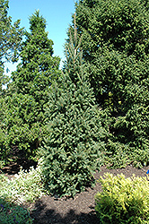 Columnar Norway Spruce (Picea abies 'Cupressina') at Town And Country Gardens