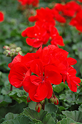 Tango Dark Red Geranium (Pelargonium 'Tango Dark Red') at Town And Country Gardens