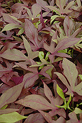 Sweet Caroline Bronze Sweet Potato Vine (Ipomoea batatas 'Sweet Caroline Bronze') at Town And Country Gardens