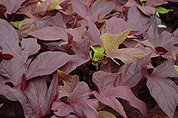 Sweet Caroline Red Sweet Potato Vine (Ipomoea batatas 'Sweet Caroline Red') at Town And Country Gardens