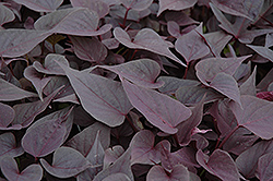 Sweetheart Purple Sweet Potato Vine (Ipomoea batatas 'Sweetheart Purple') at Town And Country Gardens