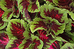 Kong Red Coleus (Solenostemon scutellarioides 'Kong Red') at Town And Country Gardens