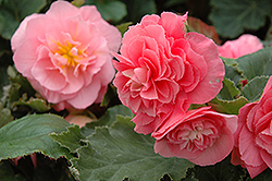 Nonstop® Pink Begonia (Begonia 'Nonstop Pink') at Town And Country Gardens