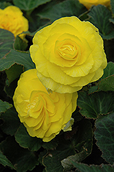 Nonstop® Yellow Begonia (Begonia 'Nonstop Yellow') at Town And Country Gardens