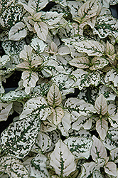 Splash Select White Polka Dot Plant (Hypoestes phyllostachya 'Splash Select White') at Town And Country Gardens