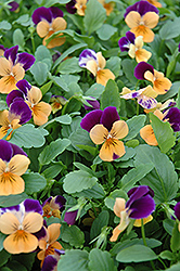 Sorbet Orange Duel Pansy (Viola 'Sorbet Orange Duet') at Town And Country Gardens