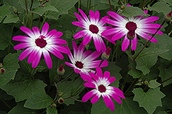 Senetti® Magenta Bicolor Pericallis (Pericallis 'Senetti Magenta Bicolor') at Town And Country Gardens