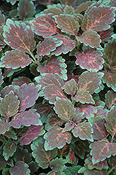Radical Wonder Coleus (Solenostemon scutellarioides 'Radical Wonder') at Town And Country Gardens