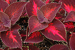 ColorBlaze® Kingswood Torch Coleus (Solenostemon scutellarioides 'Kingswood Torch') at Town And Country Gardens