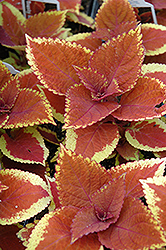 Trusty Rusty Coleus (Solenostemon scutellarioides 'Trusty Rusty') at Town And Country Gardens