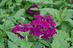 Superbena® Purple Verbena (Verbena 'Superbena Purple') at Town And Country Gardens