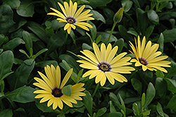 Lemon Symphony African Daisy (Osteospermum 'Lemon Symphony') at Town And Country Gardens