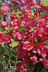 James Walker Bougainvillea (Bougainvillea 'James Walker') at Town And Country Gardens