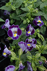 Catalina Midnight Blue Torenia (Torenia 'Catalina Midnight Blue') at Town And Country Gardens