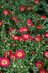 Madeira Cherry Red Marguerite Daisy (Argyranthemum frutescens 'Madeira Cherry Red') at Town And Country Gardens