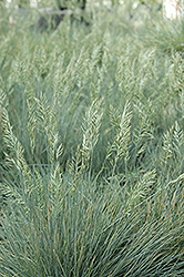 Elijah Blue Fescue (Festuca glauca 'Elijah Blue') at Town And Country Gardens