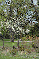 Toka Plum (Prunus 'Toka') at Town And Country Gardens